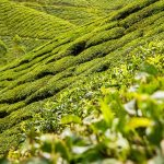 tea-leaves-139617_640