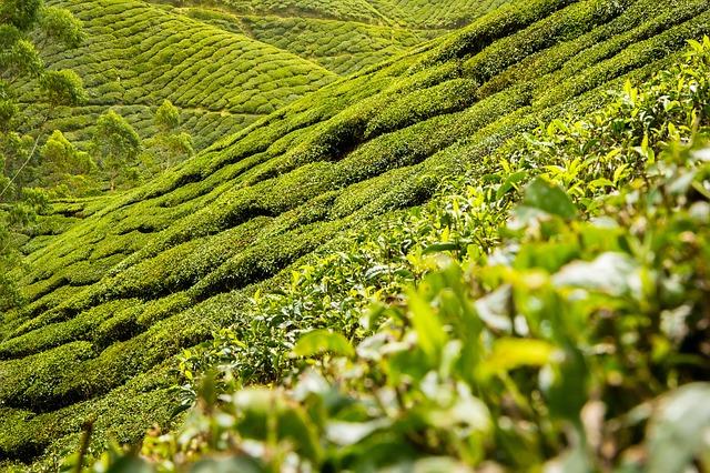 tea-leaves-139617_640