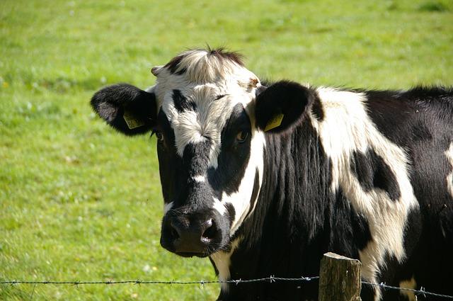 cow-234835_640 (1)